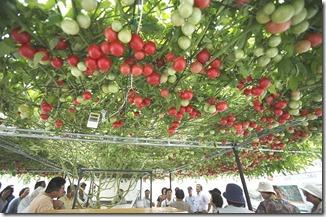 トマトの木4